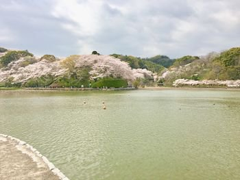 桜3ゆき.jpg