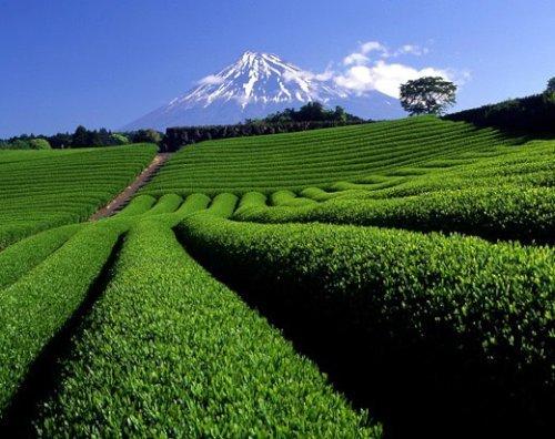 お茶畑[1].jpg