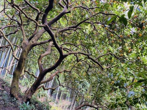青木農園100年樹345[1].jpg