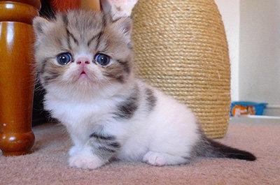 エキゾチックショートヘアの仔猫.jpg